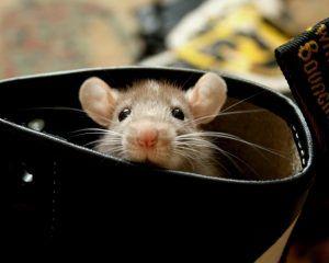 мышь под полом