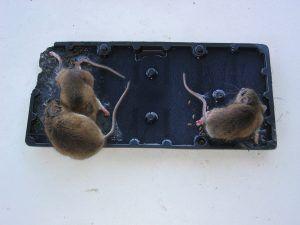 мышки в ловушке