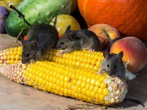 убрать клей от мышей с пола